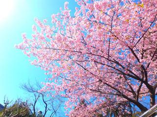 桜の写真・画像素材[375105]