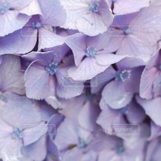 紫陽花の写真・画像素材[4757682]