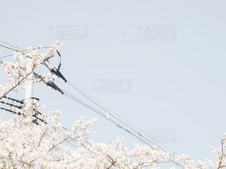 桜の写真・画像素材[4757755]