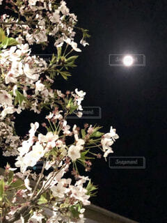 夜桜の写真・画像素材[4758903]