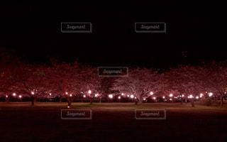 ライトアップな桜の写真・画像素材[1090736]