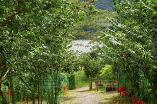 ダムの近くにある彼岸花が咲く色豊かな庭園の道の写真・画像素材[4825730]