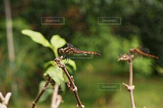 木の枝に止まっているトンボのアップ写真の写真・画像素材[4825737]