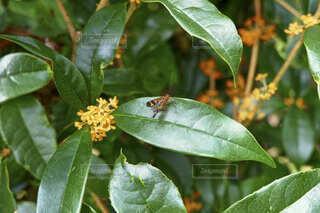 金木犀の葉っぱの上にいる虫の様子の写真の写真・画像素材[4825738]