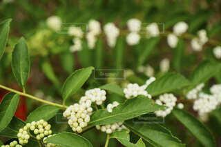 ガーデニングに咲いていた白い実の植物の写真・画像素材[4825741]