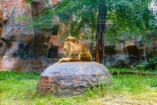 岩の上に座るライオンの写真・画像素材[4925206]