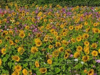 野原の花の写真・画像素材[4766618]