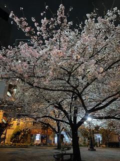 公園の夜桜の写真・画像素材[4763095]