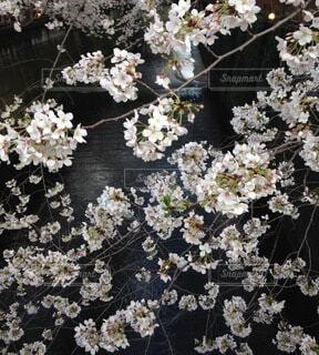 夜桜と川の写真・画像素材[4774266]