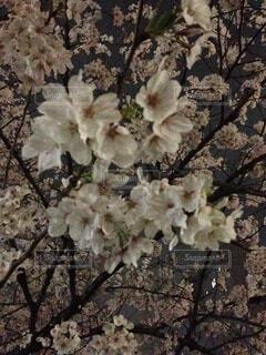 夜桜のクローズアップの写真・画像素材[4774268]