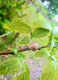 梅雨の雨のなか 枝をゆっくりと進むカタツムリの写真・画像素材[4763652]