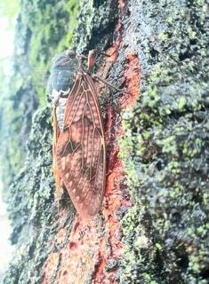 木の幹にとまるセミ 夏の始まりの写真・画像素材[4770546]