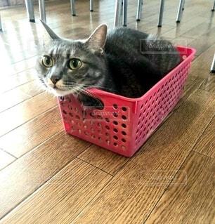 箱入り猫の写真・画像素材[4781513]