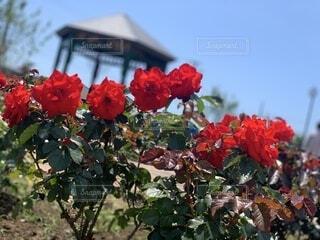 真っ赤な薔薇と真っ青な空の写真・画像素材[4762369]
