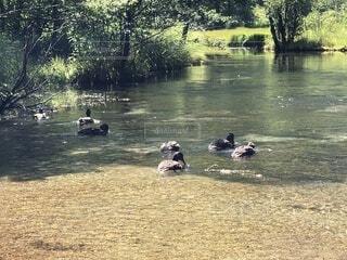 遊歩道に流れる川で遊ぶ鴨たちの写真・画像素材[4763500]