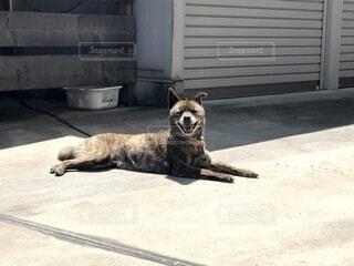 ポーズが決まった甲斐犬の写真・画像素材[4770377]