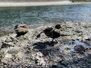 水辺で日向ぼっこする鴨の写真・画像素材[4899280]