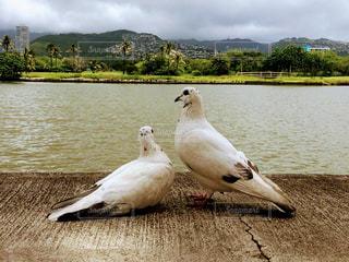 2匹の鳩の写真・画像素材[1134268]
