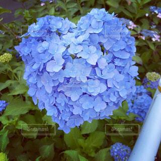 ハート型の紫陽花の写真・画像素材[4765440]