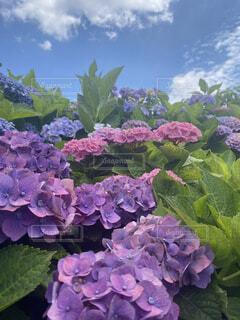 紫陽花の山の写真・画像素材[4787309]