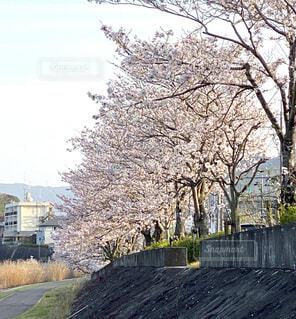 川沿いの桜並木の写真・画像素材[4766979]