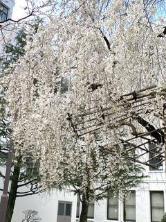 枝垂れ桜の写真・画像素材[4766982]
