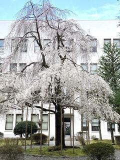 枝垂れ桜の写真・画像素材[4766984]
