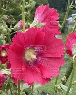 芙蓉の花の写真・画像素材[4766997]
