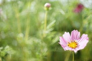 小さなピンクのコスモスの写真・画像素材[4769609]