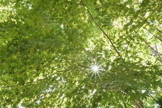 葉っぱの間から漏れる太陽の光の写真・画像素材[4769647]
