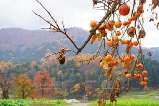 沢山実った柿と山の写真・画像素材[4769414]