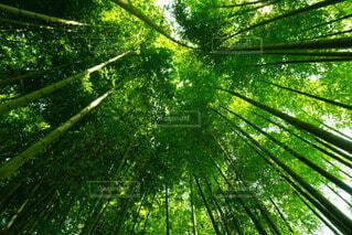 竹林で上を見上げるの写真・画像素材[4817475]
