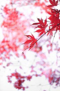 赤く染まったもみじの写真・画像素材[4768067]