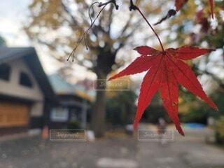 秋の楓の写真・画像素材[4767665]