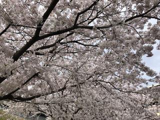 満開の桜の写真・画像素材[4770818]