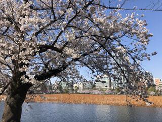 桜並木の写真・画像素材[4770820]