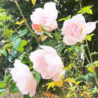 ピンクの薔薇と緑の写真・画像素材[4768364]
