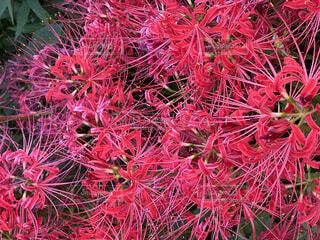 秋に咲く彼岸花の写真・画像素材[4846072]