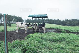 緑豊かな畑で放牧する牛のグループの写真・画像素材[4797184]