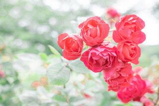 薔薇のクローズアップの写真・画像素材[4797229]