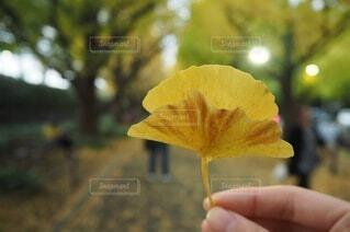 イチョウ並木の写真・画像素材[4770974]