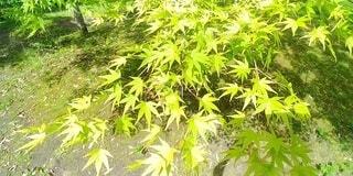 紅葉の花の写真・画像素材[4768498]