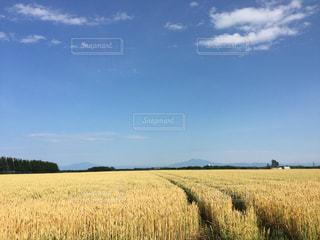 小麦畑の黄色とお空の青はお友達の写真・画像素材[994265]