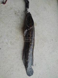 雷魚捕獲の写真・画像素材[4768638]