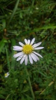 雨に濡れる花の写真・画像素材[4835271]
