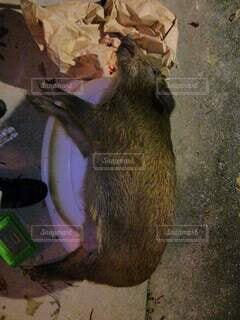 猪捕ったどーの写真・画像素材[4919648]