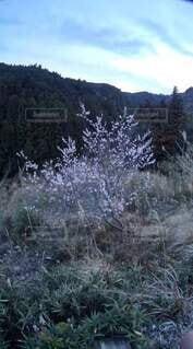 我が家の梅の写真・画像素材[4919670]