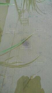 カブトエビ発見の写真・画像素材[4768643]