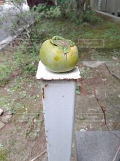 なんか柿が乗ってる!の写真・画像素材[4769784]