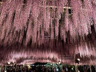 藤の花の写真・画像素材[4768862]